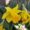 Csupros nárcisz-Narcissus pseudonarcissus