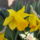 Csupros_narcisznarcissus_pseudonarcissus_647094_57337_t