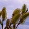 Kecskefűz - Salix caprea