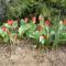 Tulipánjaink egy része