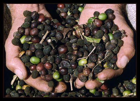 brazil kávétermés