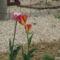 Tulipánok 10