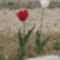 Tulipánok 9