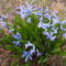 Kerti jácint - Hyacinthus orientalis