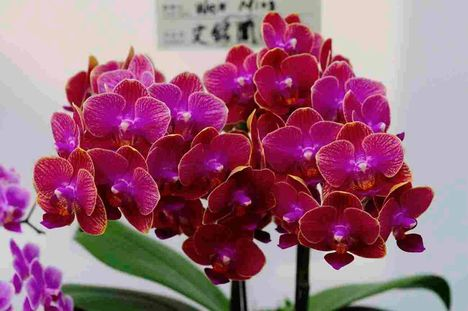 Taiwan orchidea kiállítás