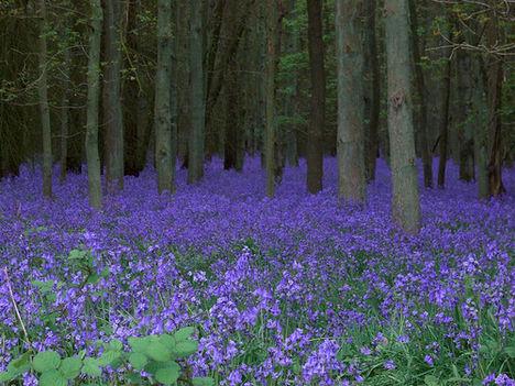 harangvirág erdő