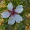 Édes mandula - Prunus amygdalus