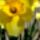 Narcisz_650566_64272_t
