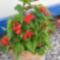 Nyári virágaim 9