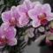 Orchidea 02