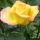 Sarga_rozsa_65556_534590_t
