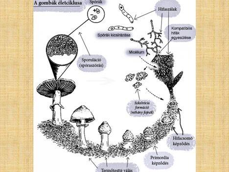 gombák 3
