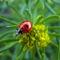 Hétpettyes katicabogár - Coccinella septempunctata