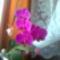Lilám,2010.ápr.Alvórügyből hozott száron,7 virág lesz rajta.