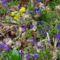 Cser-erdő virága az ibolya kankalinnal.