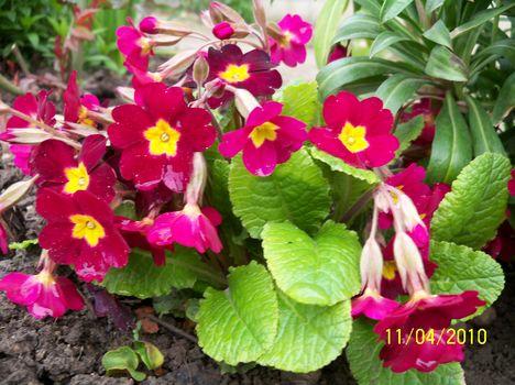 Kankalin - Primula