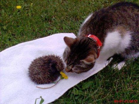 cica-süni