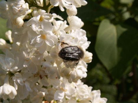 Bundásbogár - Tropinota squalida