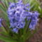 Jácint-Hyacinthus orientalis 'Blue Jacket'