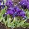 Törpe Nőszirom - Iris pumila