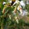 Egres - Ribes Grossularia