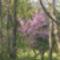 Judásfa - CercisCanadensis