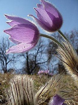 LILA tulipán