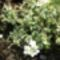Tarka ikravirág