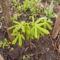 Vadgesztenye - Aesculus hippocastanum