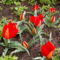 Tulipán - Tulipa vvedenskyi