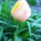 Tulipán