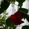 Havay rózsám 2009