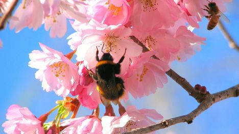 bees-in-the-cherry-tree-1280-720-3044