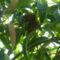 mangófa madárfészekkel...
