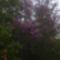 rózsaszin Jacaranda fa