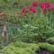 kert, tulipán
