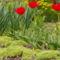 kert tulipánnal
