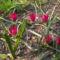 Tulipa pulchella  little beauty