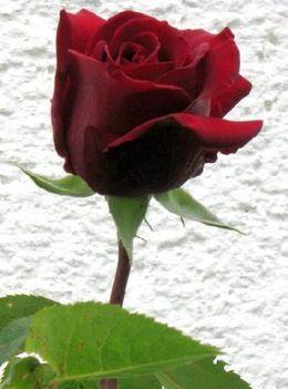 egy szál bordó rózsa