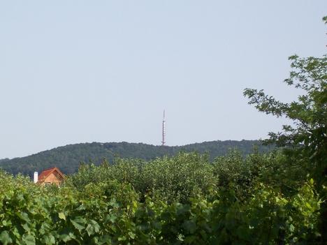 Szőlő a torony elött