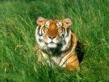 bengali tigris