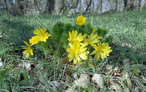 Tavaszi virágok, hérics