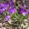 Tavaszi virágok, ibolya