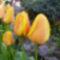 sárgák