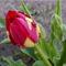 Tulipán - Tulipa spp