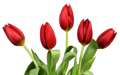 Tulipános háttérkép 11