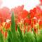 Tulipános háttérkép 13