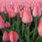 Tulipános háttérkép 19
