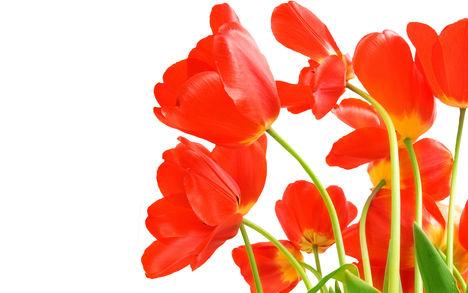 Tulipános háttérkép 22