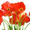 Tulipános háttérkép 31
